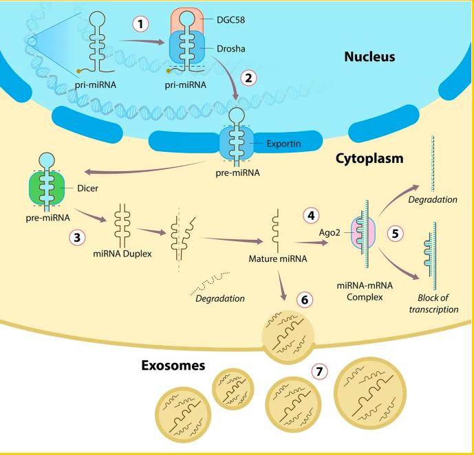 Pesquisadores do NAVI publicam artigo sobre miRNA em revista internacional